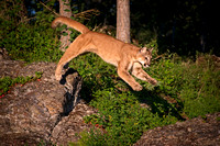 Mountain Lion, Leaping