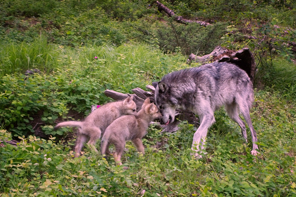 Mother wolf and her pups