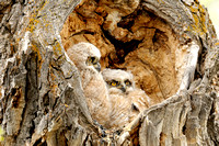Pair of Great Horned Owlets in Nest