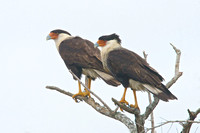 Crested Caracara Pair