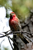 House Finch Visiting Colorado