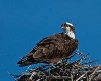 Osprey Guarding its Nest