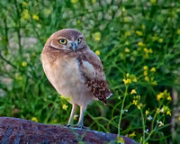 Burrowing Owls, Owlets