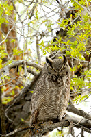 Mother Great Horned Owl