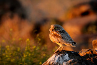 Sunset on a Burrowing Owl