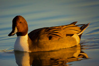 Northern Pintail in Late Afternoon Sunlight