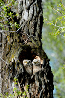 Great Horned Owlets in their Nest