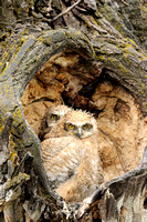 Great Horned Owlets After the Rain