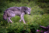 Female Grey Wolf on the Hunt
