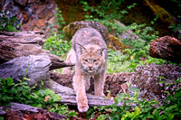 Canada Lynx, eyes on prey